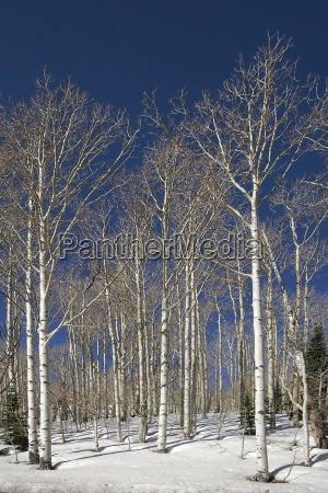 birches, in, snow - 277178