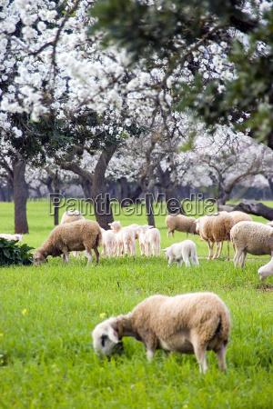 sheep, lambs, almond, blossom, ... - 277537