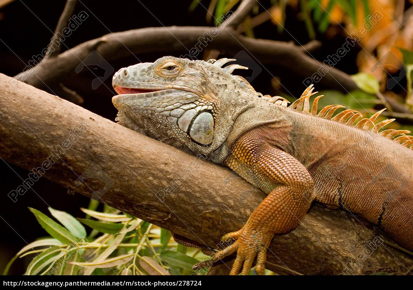 green, iguana, i - 278724