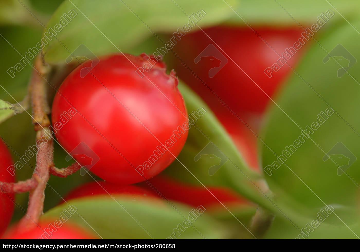 cranberry - 280658