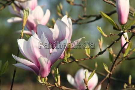 magnolia - 285411