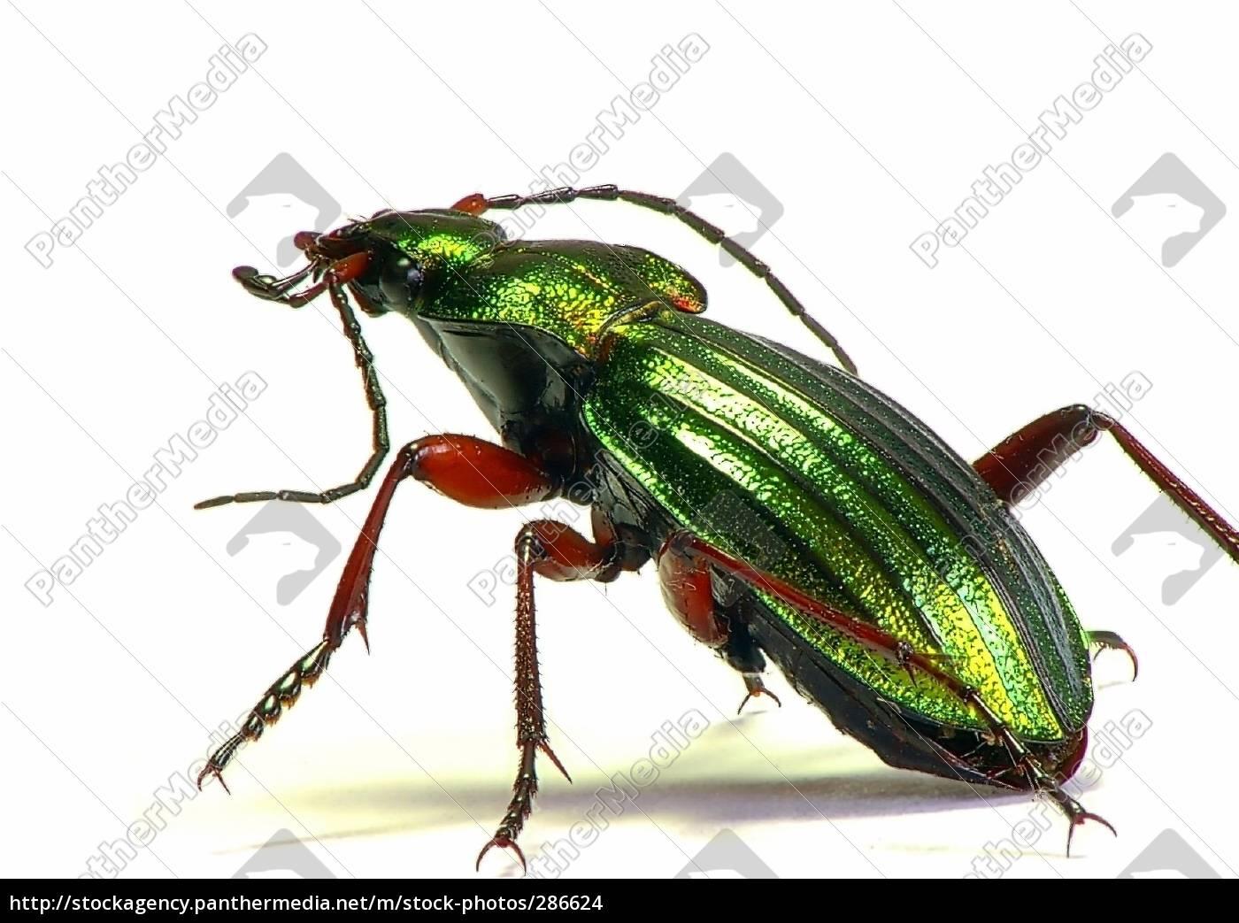 gold, ground, beetles - 286624