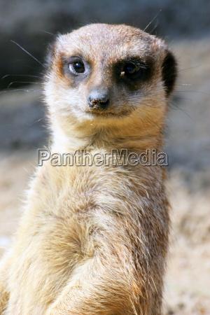 meerkats, model - 286913