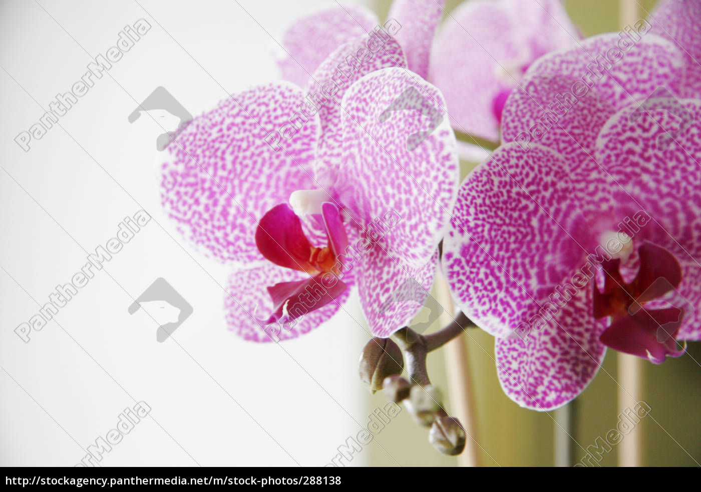orchid, flowers, viii - 288138