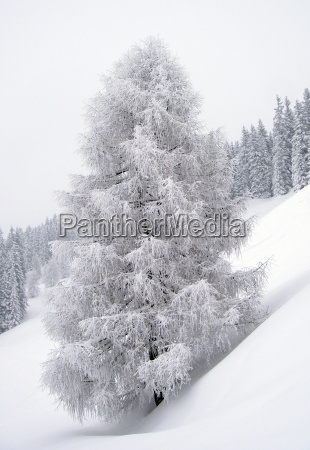 tree winter blank european caucasian snowy