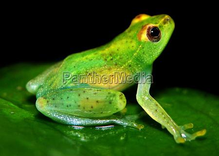 glass, frog, 2 - 290863