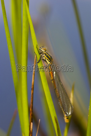 damselfly after hatching