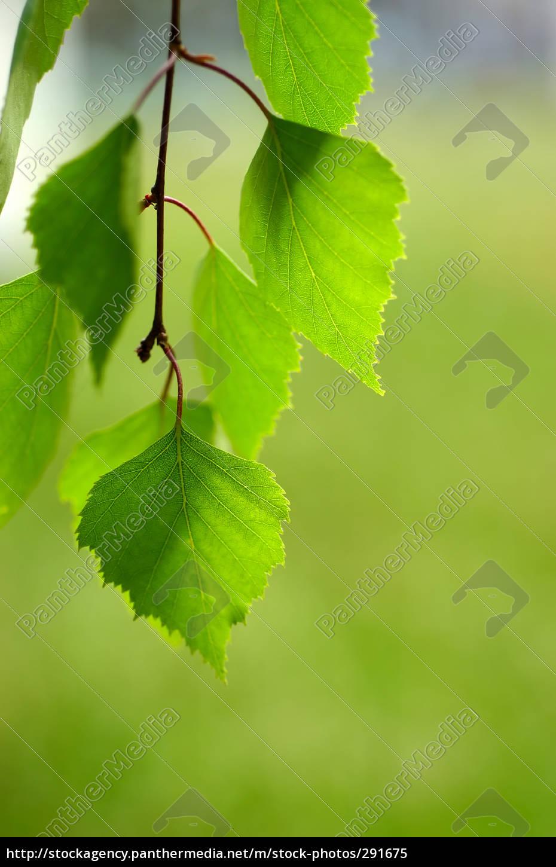 birch, leaves, 02 - 291675