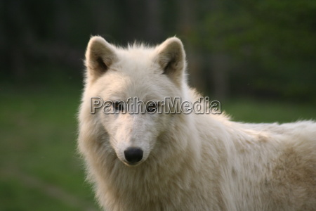 polarwolf - 292569