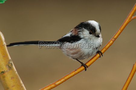 long-tailed, tit, aegithalos, caudatus - 293559