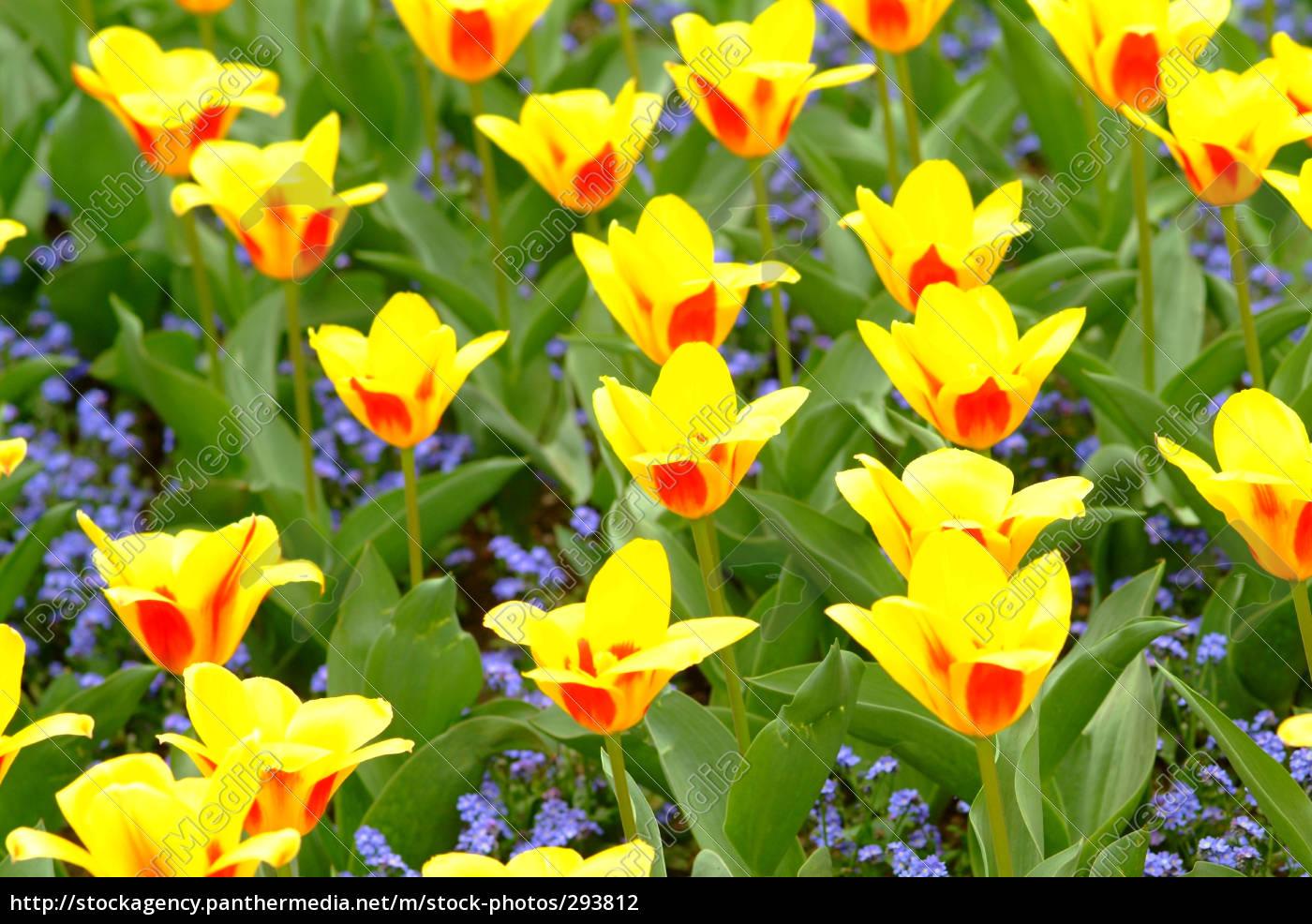 yellow, tulips - 293812