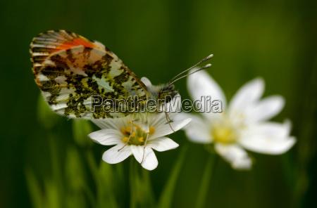 aurora butterfly
