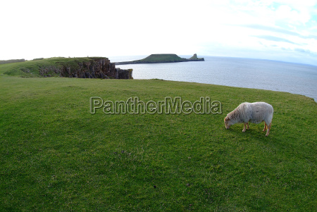 sheep before worms head