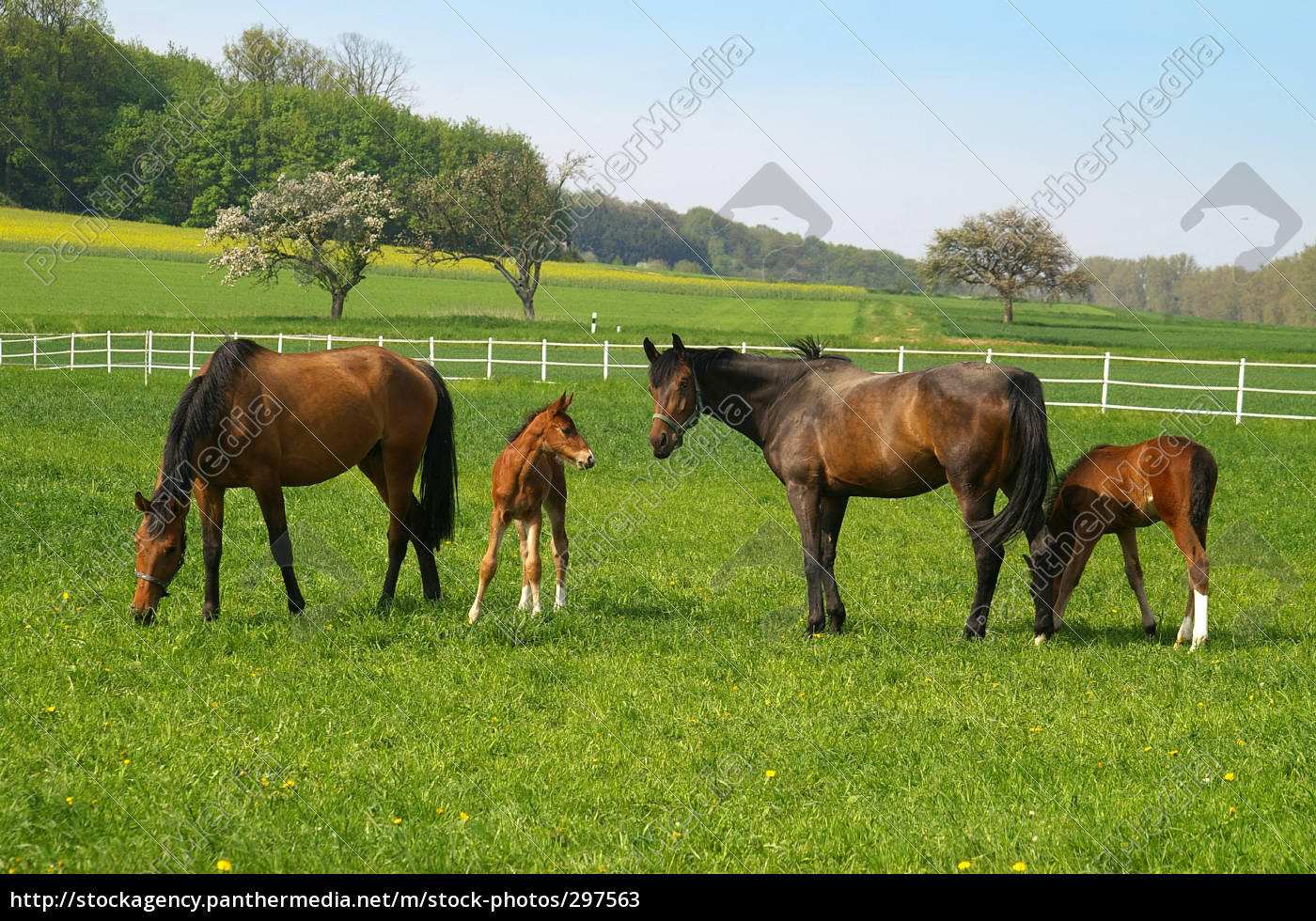 mares, with, foals - 297563