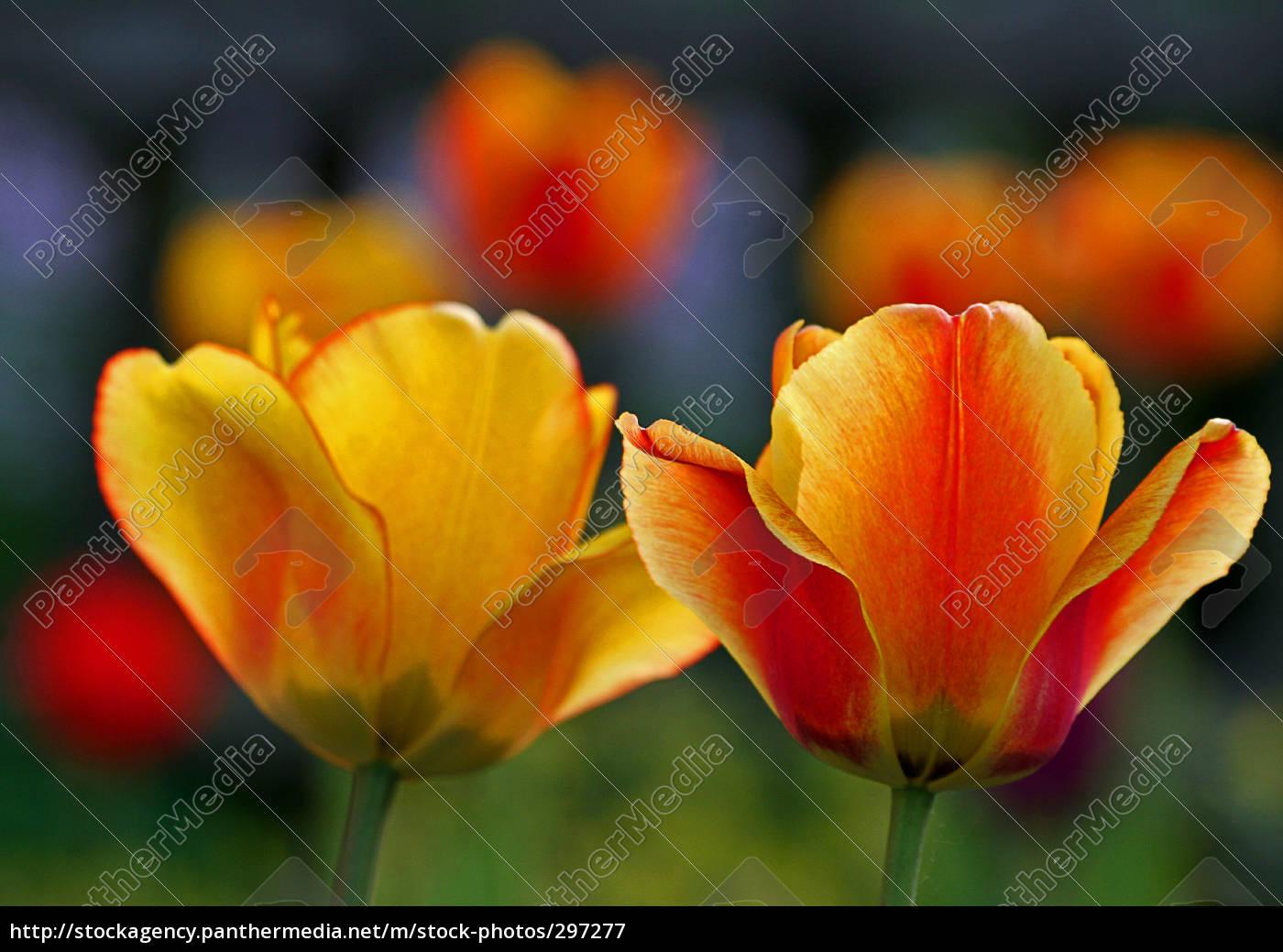 tulip - 297277