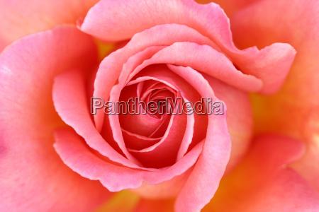 rose - 298782