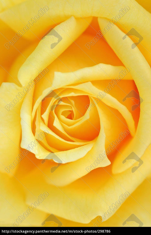 rose - 298786