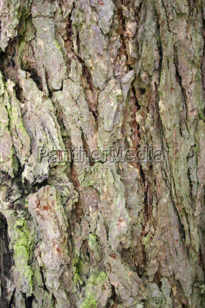 larch bark