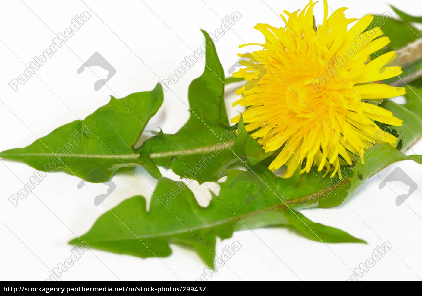 dandelion, salad - 299437