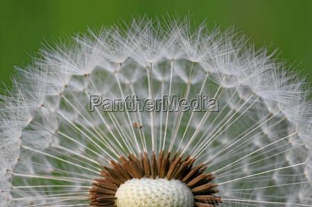 dandelion - 301687