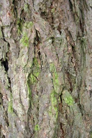 larch bark