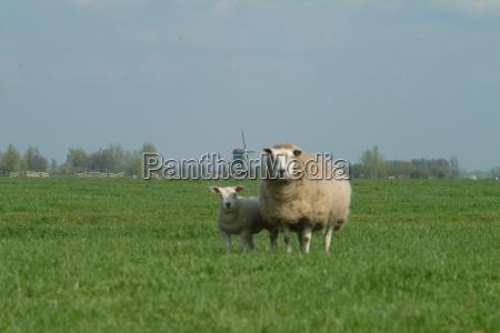 sheep before windmill