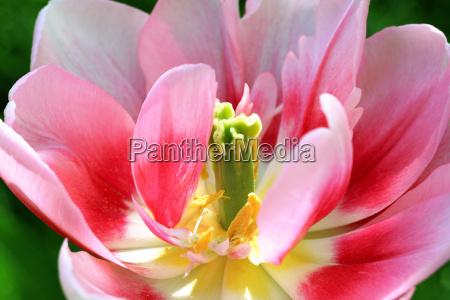 pink, tulip - 304743
