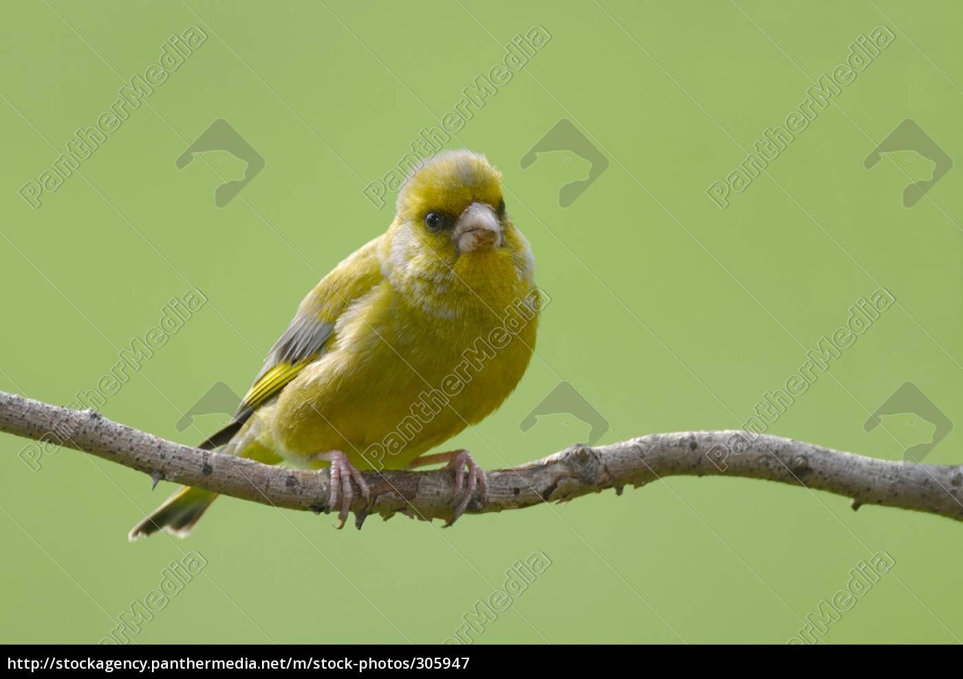 greenfinch, carduelis, chloris - 305947