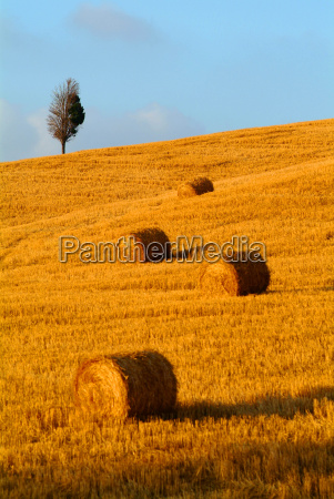 strohballen tree wheat field