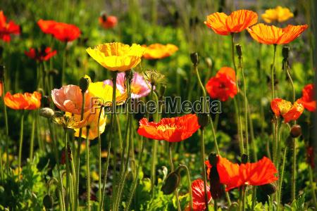 poppy - 306760
