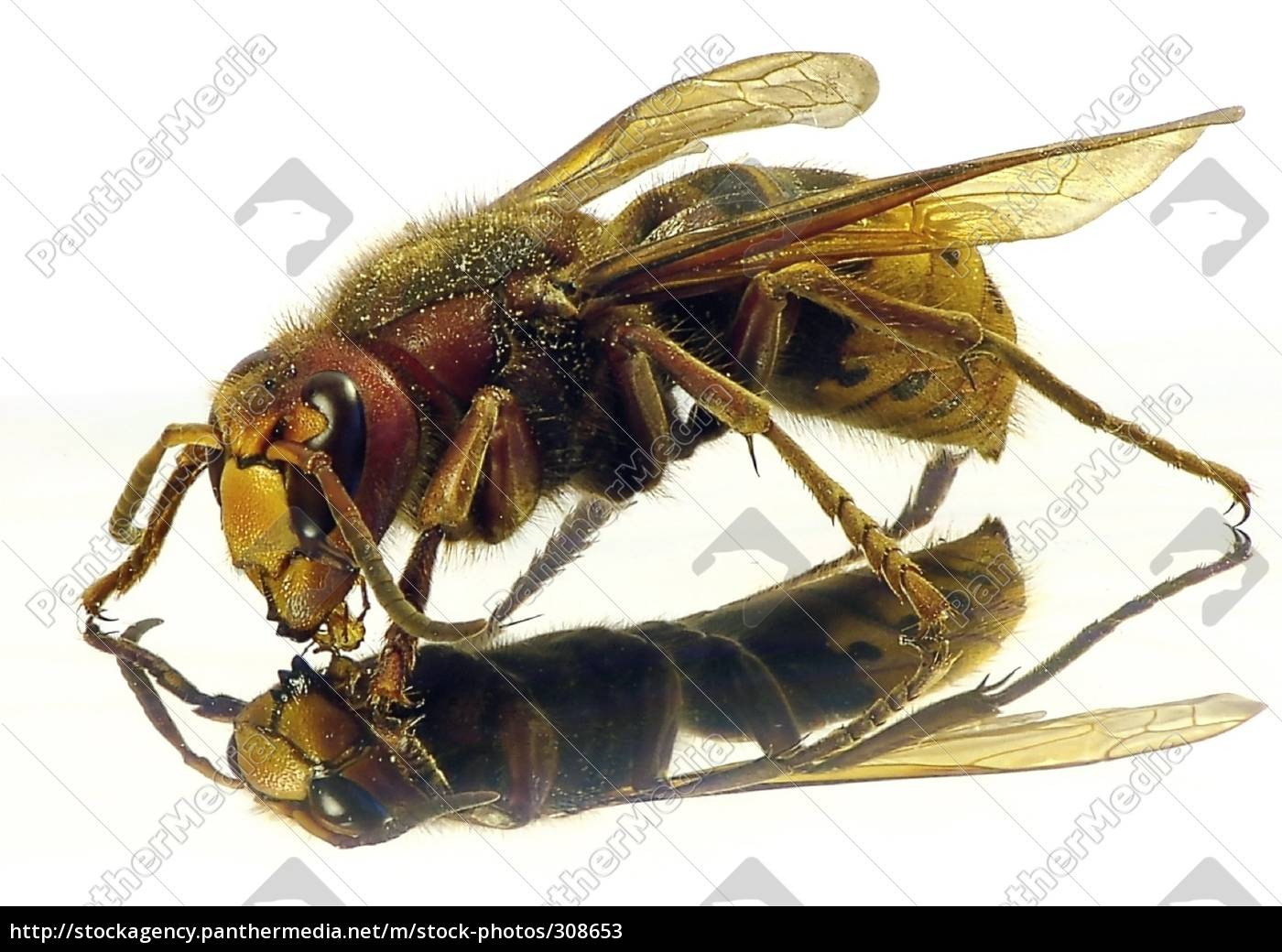hornet - 308653