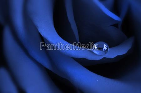 blue, rose - 309419