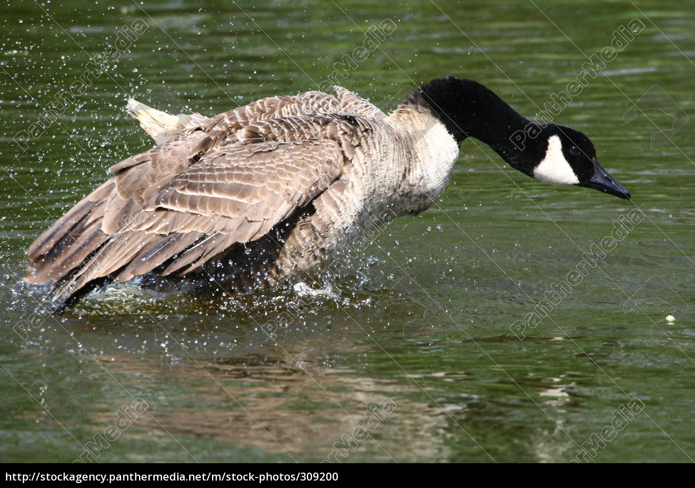 canada, goose - 309200