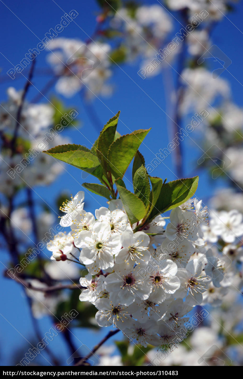 apple, blossom - 310483