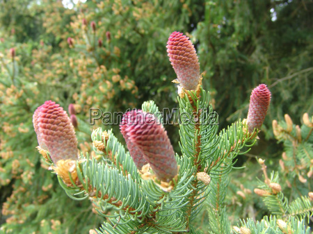 female, spruce, flowers - 310429