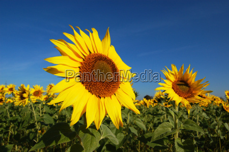 sunflower, field - 310927