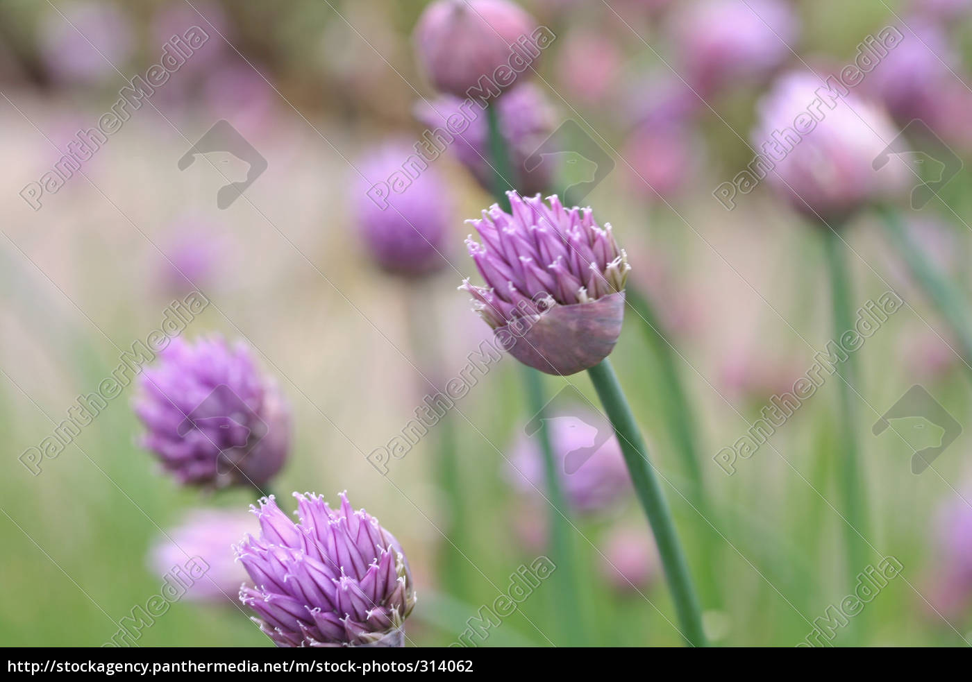 chives - 314062