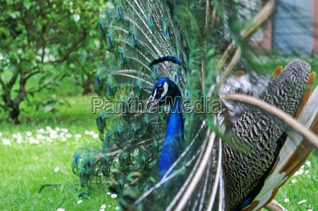 peacock, profile, with, a, difference - 314526
