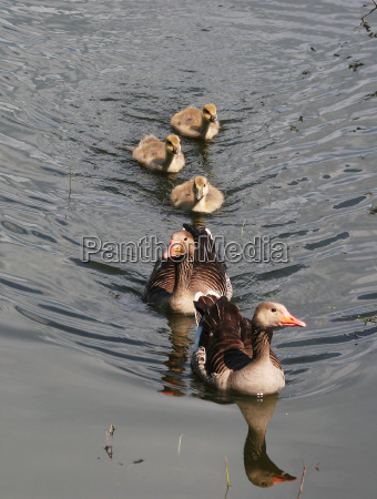 greylag family wildlife