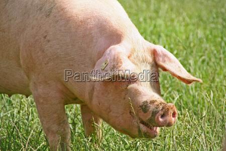 glücksschwein - 318099