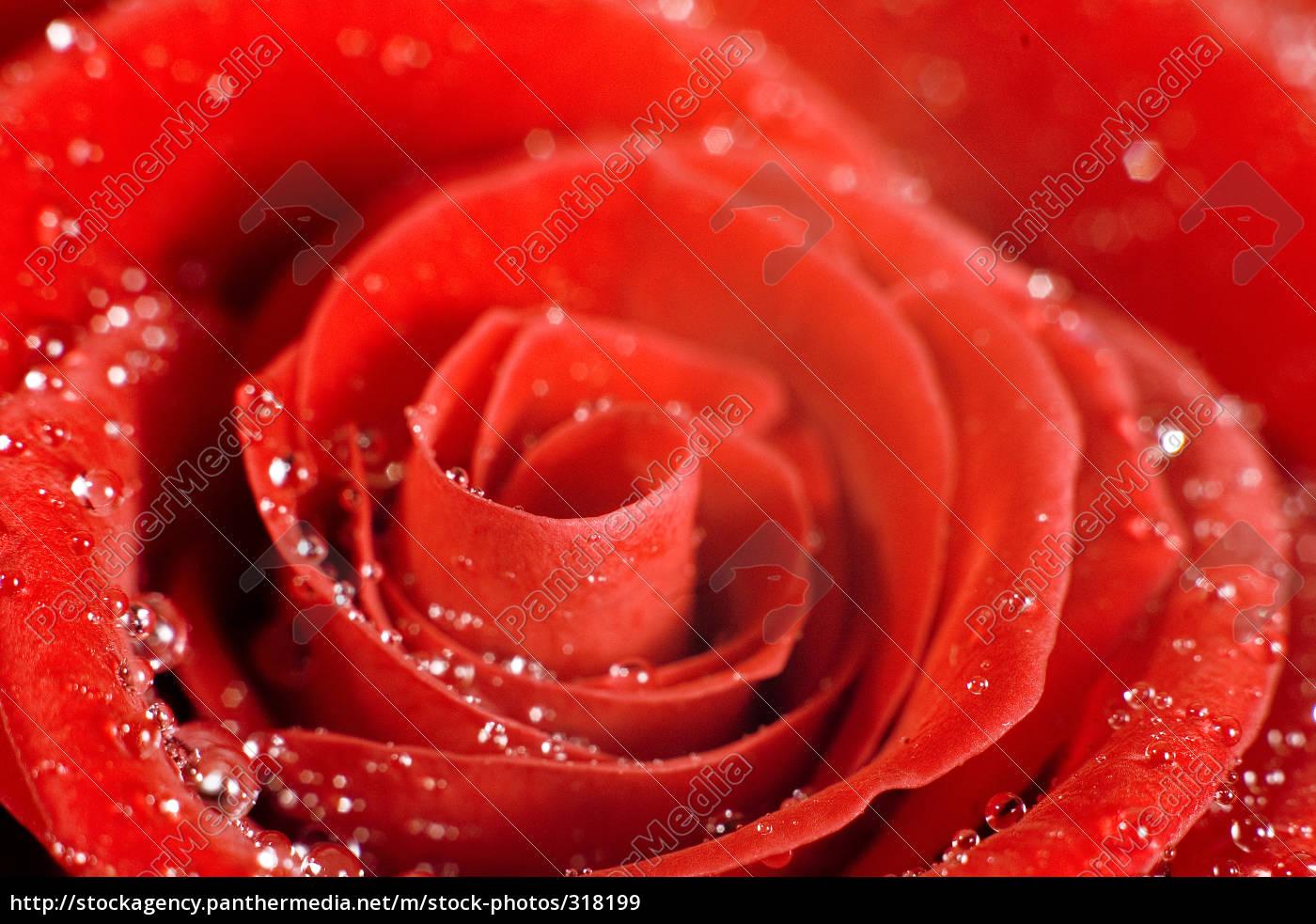 rose2 - 318199