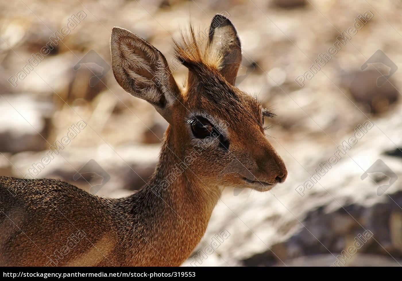 dik-dik, antelope - 319553