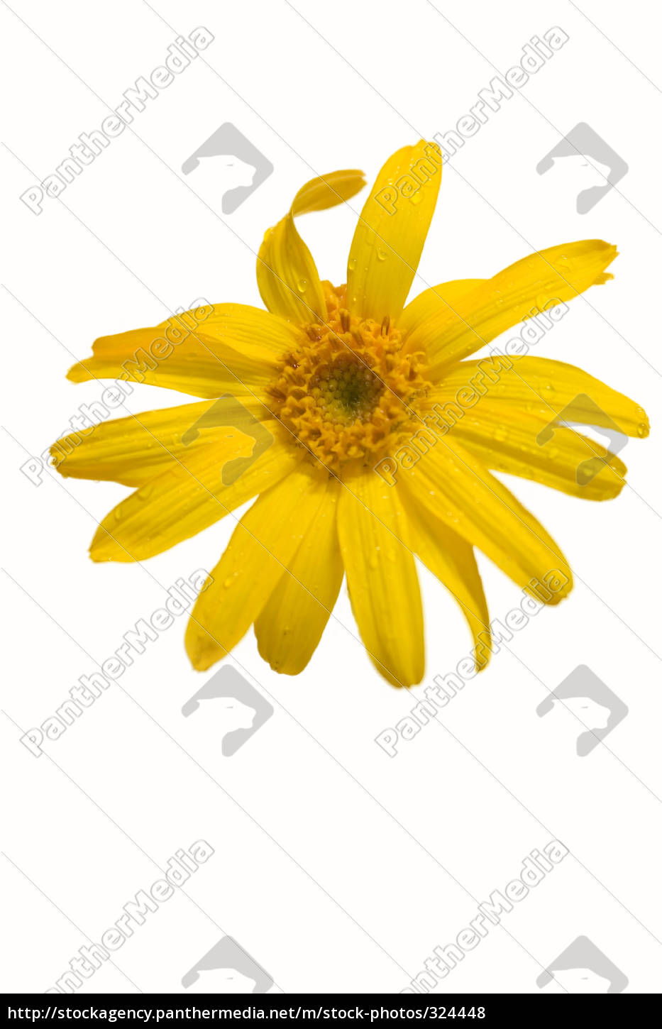 isolated, arnica, blossom - 324448