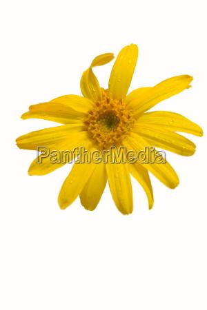 isolated, arnica, blossom - 324448