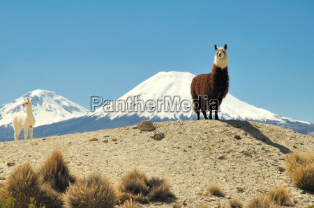 alpacas - 326246
