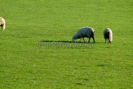 sheep 25