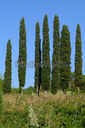 tree cypress 7