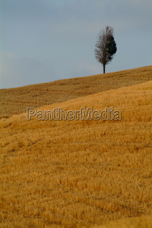 tree at the wheat field