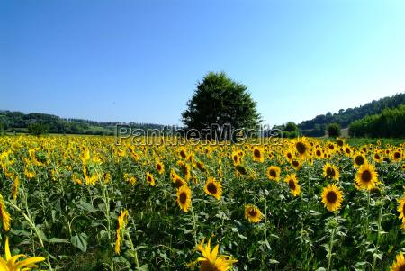 tree in the sunflower field