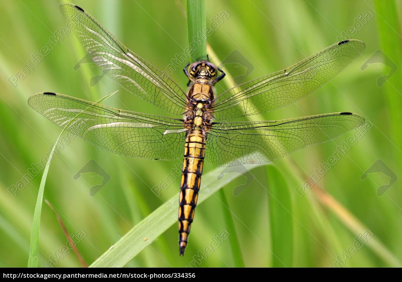 black-tailed, skimmer, females - 334356